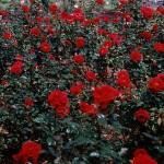 the weeping rose_logan white