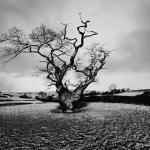 8. Derbyshire UK, vecchia quercia 1977