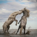 Primo posto, STALLIONS PLAYING | CAMARGUE, FRANCE, Photo by Camille Briottet, France