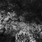 Daido Moriyama, Cherry blossom
