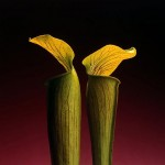 Double Jack in the Pulpit, 1988_mapplethorpe