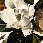 John James Audubon, Black-billed Cuckoo, Coccyzus erythropthalmus, Victoria Museum, Google cultural Insitut